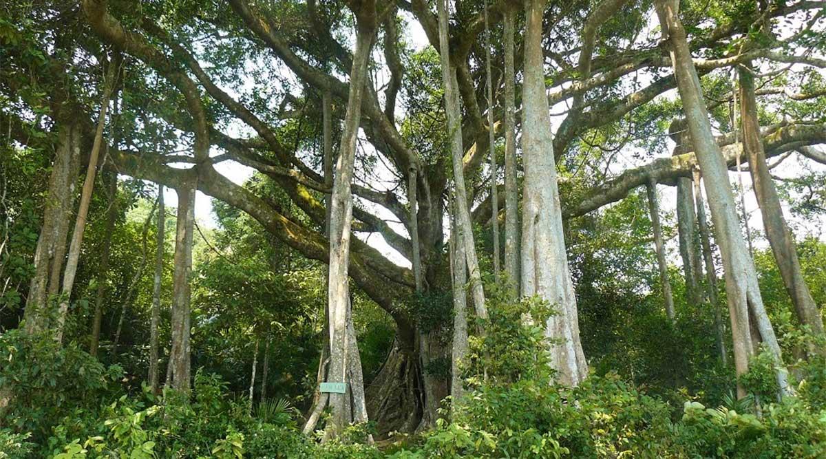 duizend jaar oude boom op Son Tra