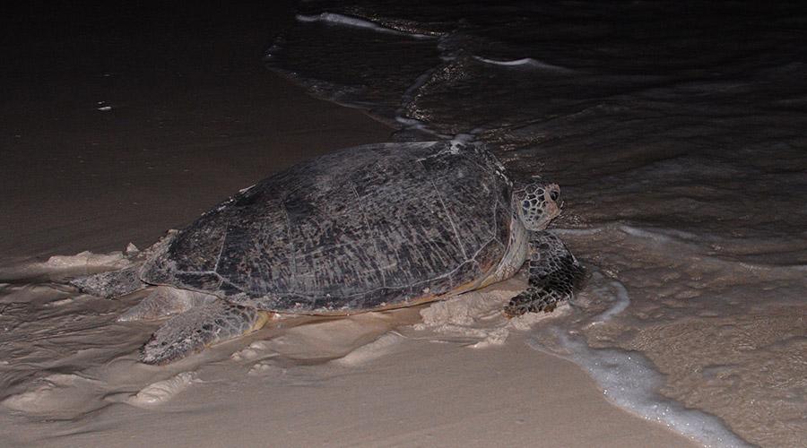 Con Dao schildpad dag 3