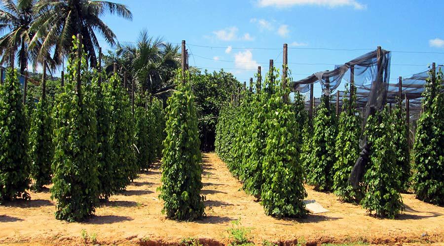 Peper plantage Phu Quoc