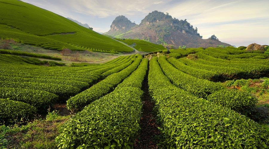 thee heuvels en plantages in Moc Chau