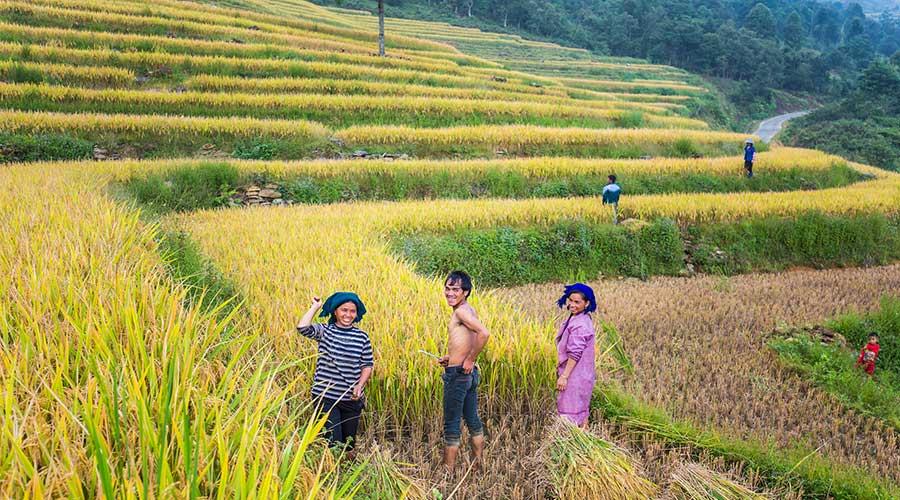 oogstseizoen rijstvelden Vietnam