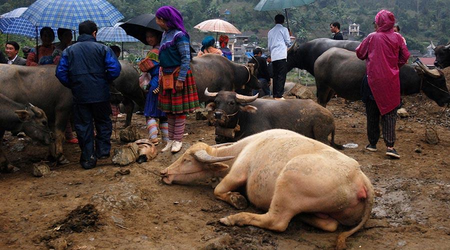 vee op Bac Ha markt