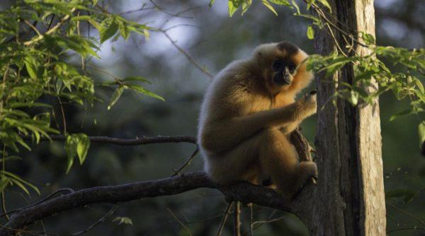 Gibbons in Cat Tien National Park