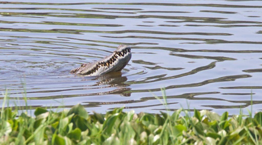 krokodil in Cat Tien