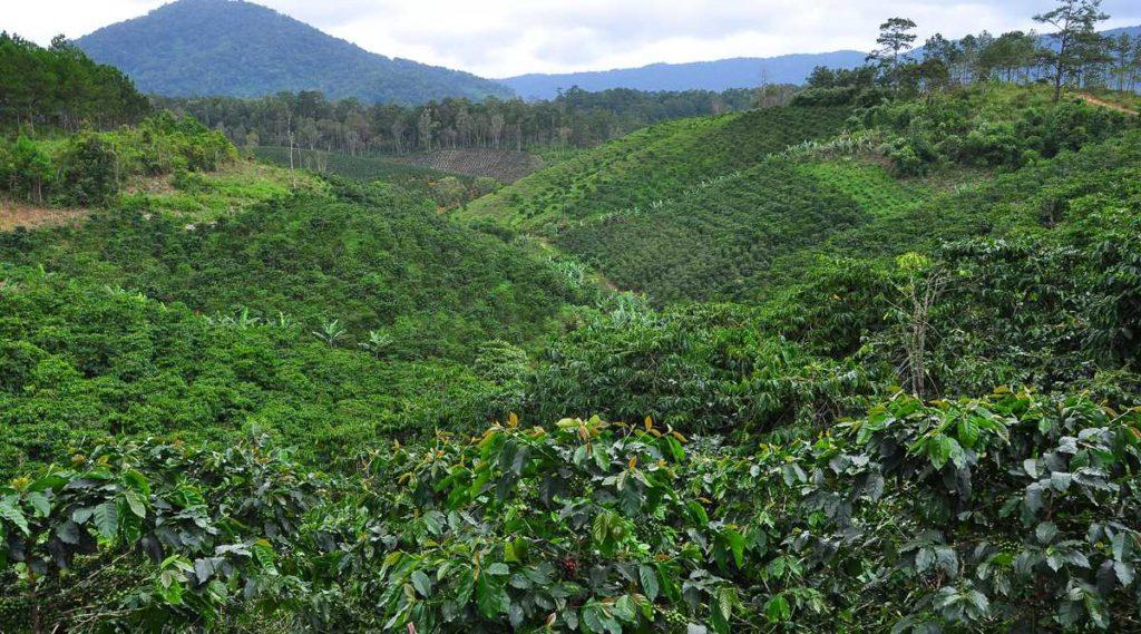 koffieplantage Vietnam
